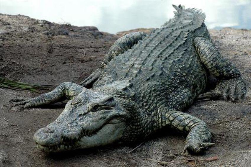 Teluk Sengat Crocodile Farm