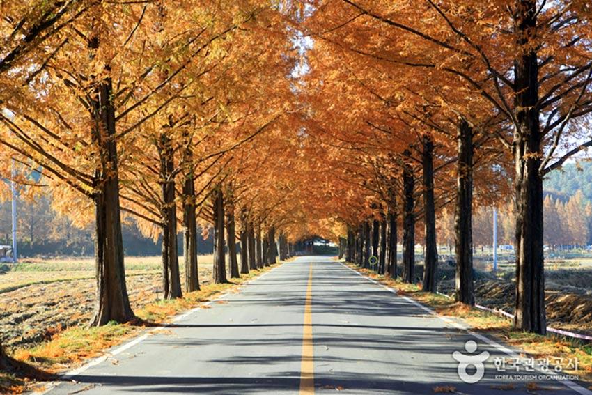 Metasequioa Tree Road, Shiga